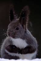 Large tufted ears grace an alert-looking snow-dusted Hokkaido squirrel in profile.