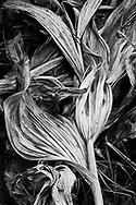 Corn Lillies, Siesta Pond, Yosemite, CA