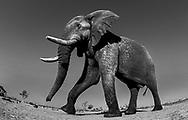 Elefantenbulle auf dem Weg zum Wasserloch von Savuti mit einer versteckten Kamera fotografiert (Fischauge).