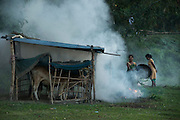 Cattle under mosquito nets for protection again malaria. The smoke is used to drive any mosquitos out from under the net before they close it up for the night<br /> Mising Tribe (Mishing or Miri Tribe)<br /> Majuli Island, Brahmaputra River<br /> Largest river island in India<br /> Assam,  ne India
