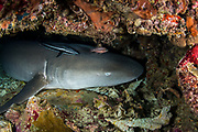 Tawny Nurse Shark (Nebrius ferrugineus)<br /> Raja Ampat<br /> West Papua<br /> Indonesia