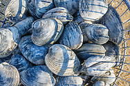 Clamming, Orient, Potato Dock,Long Island, New York