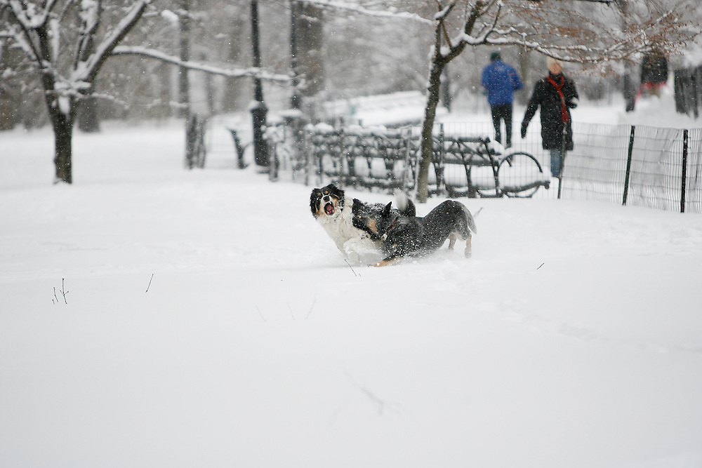Dogs play in central park  as the region is hit with a snow storm on February 26, 2009 in New York City. photo by Joe Kohen for The New York Times