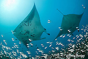 reef manta rays, Manta alfredi (formerly Manta birostris ), at cleaning station by Hanifaru Bay entrance, on patch reef with silversides or glassfish; Hanifaru Lagoon, Baa Atoll, Maldives ( Indian Ocean )