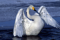 A whooper swan (Cygnus cygnus).