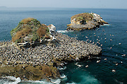 Rocks crowded by pelicans at Pachequilla island shore. Las Perlas archipelago, Panama province, Panama, Central America.