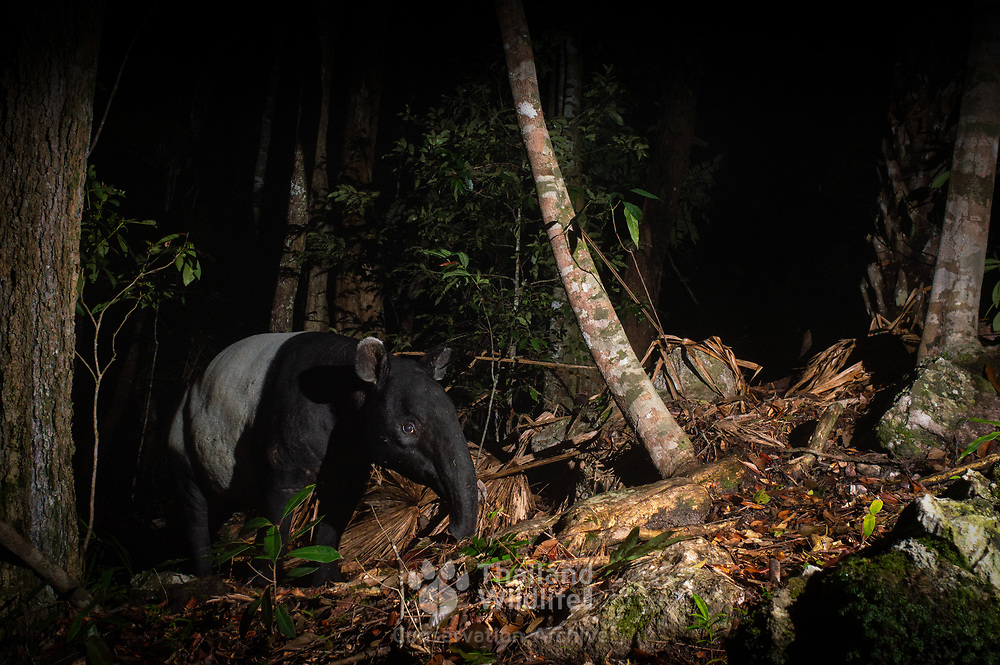 The Malayan tapir (Tapirus indicus), also called the Asian tapir, is the largest of the five species of tapir and the only one native to Asia.