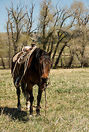 Quarter horses, hobbled, Lazy SR Ranch, branding, Wilsall, Montana