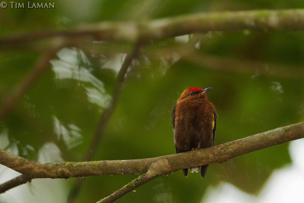 Club-winged Manakin (Machaeropterus deliciosus)<br /><br />Endemic to Ecuador<br /><br />Milpe Cloudforest Reserve, Ecuador.