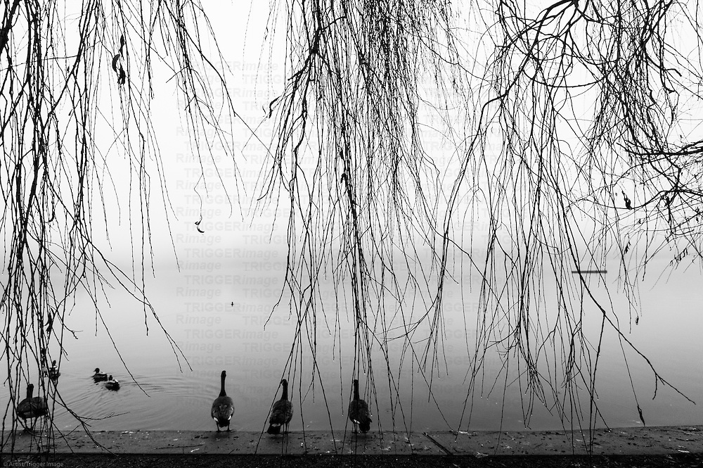 Geese and ducks lined up on a ledge to swim into a foggy lagoon, with long weeping willow branches in the foreground.