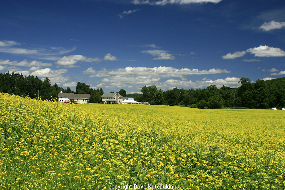 Beautiful July day in Fayston, VT overlooking a mustard meadow