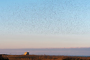 Common starlings flying over the  Aragonese tower in the Torre Guaceto nature reserve.