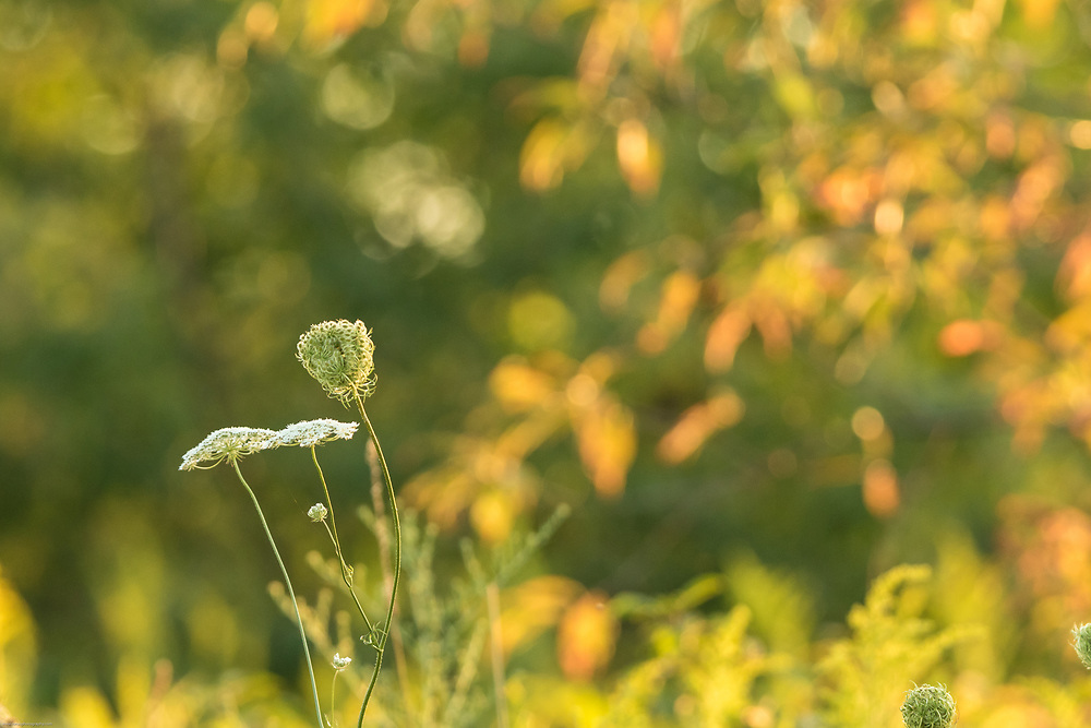 Queen Anne's lace against a background of leaves just beginning to color.