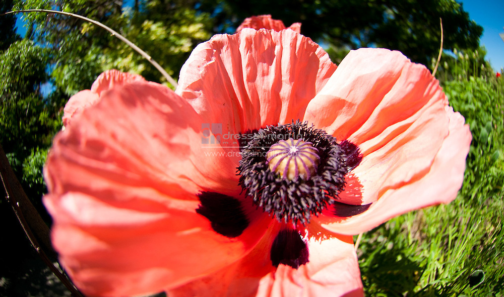 Birds and Bees Walk, red poppy