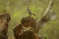 Floreana (Charles) Mockingbird (Mimus trifasciatus)<br />Endangered Species