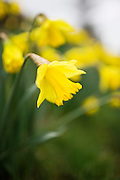 Daffodil, Oxfordshire, United Kingdom