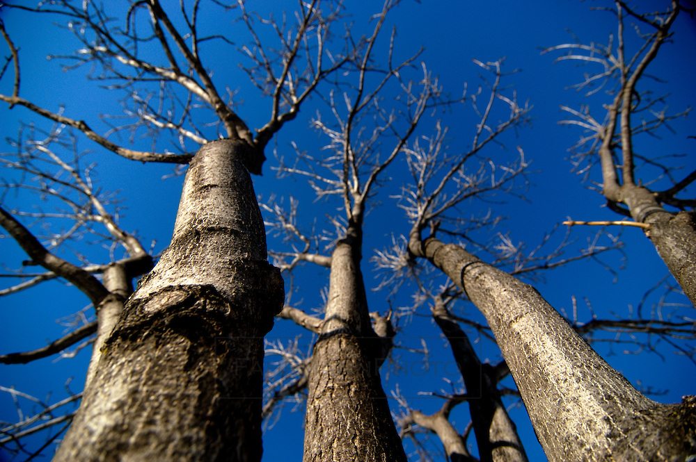 A cluster of tree trunks and branches during the months of winter reach up into the cool blue canopy of sky