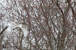 Great or Common Egret (Ardea alba)