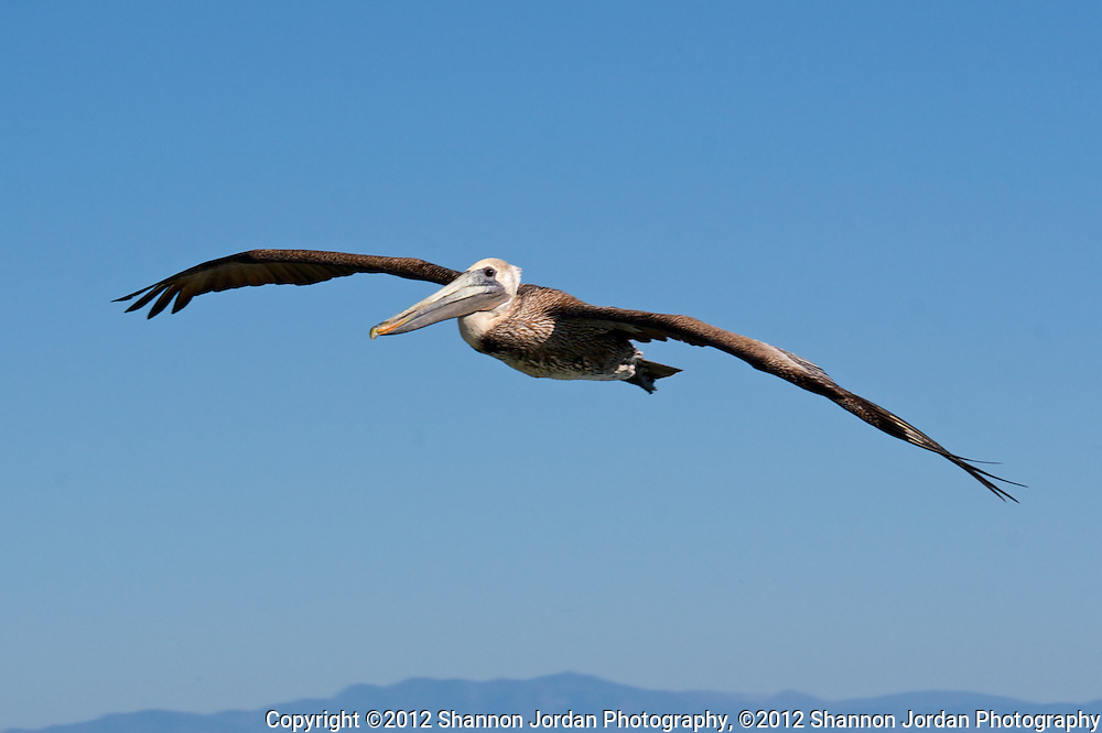 A Pelican flys above the ocean in the Channel Islands National Marine Sanctuary with Anacapa Island in the distance, off the coast of California. The central coast of California is one of the most scenic areas of the United States. The natural beauty and wildlife are abundant and breathtaking. You can find more than 200 species of birds, both land and sea birds, on this scenic and spectacular stretch of California..The National Audubon Society lists Morro Bay and the central coast of California, including Santa barbara as a Globally Important Bird Area. Thousands of migratory birds spend part of the year here..Shorebirds such as marbled godwits, willets, curlews with their long curved bills and tiny sandpipers find a bountiful feast in the mudflats of the estuary at Morro Bay. Black brant geese migrate from spots on the Alaskan shore to feed on the rich eelgrass beds. Fluttering terns, brown pelicans, graceful egrets and herons are also part of the seasonal mix...