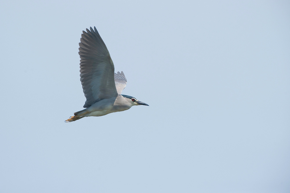 Night heron (Nycticorax nycticorax) on lake Belau, Moldova