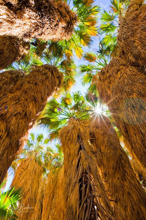 Oasis in Borrego Palm Canyon, Anza-Borrego Desert State Park, California