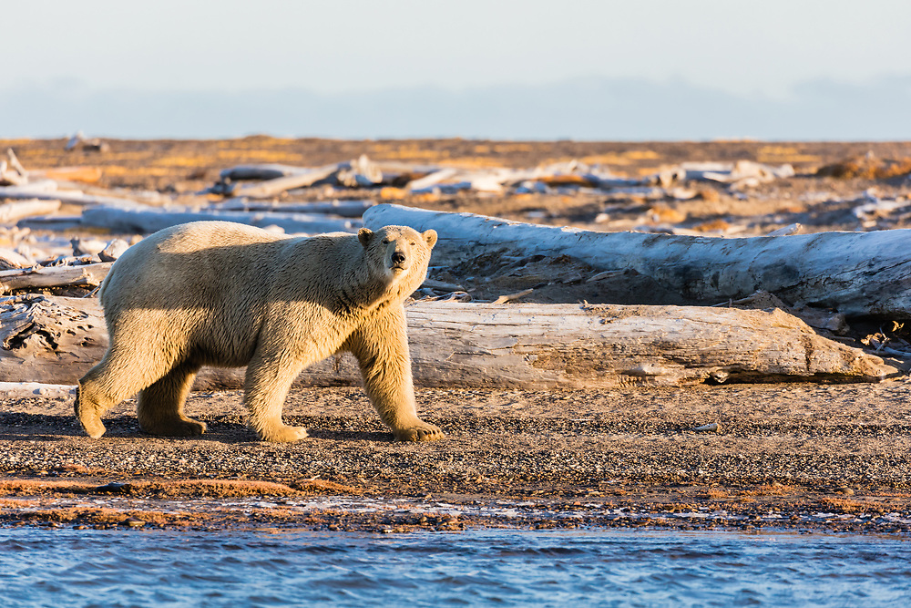 Polar Bear (Ursus maritimus) walking on barrier island along Beaufort Sea  in Kaktovik, Alaska. Autumn. Morning.
