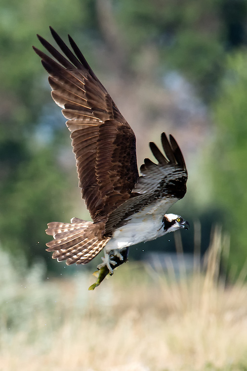 Osprey (pandion haliaetus) with fish in flight, Longmont, Colorado