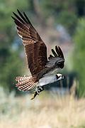 Osprey (pandion haliaetus) with fish in flight, Longmont, Colorado