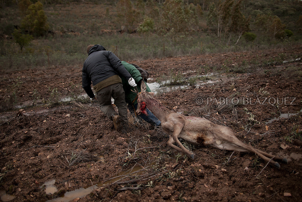 Hunters pull a dead deer at a dirt road after a hunting session near Carbajo on January 19 2013, in Caceres Province, Extremadura, Spain. .Caceres has a well preserved natural environment. Plenty of its surface is dedicated to deers and wild boars hunting, making this, an important part of its economy. But most of the land belongs to large landowners. .In Carbajo, people gather three times a year to hunt deers and wild boars. In the past, they used to hunt for eating, but now days, they practice it as an sport and a social event. Then, they sell what the catch as wild game meat.