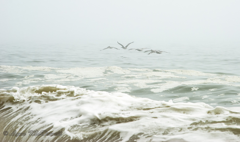 On this foggy morning, I loved how the ocean and sky were one without the separation of a horizon line; then the Brown Pelicans flew into the frame, perfect.  Delaware Seashore State Park.
