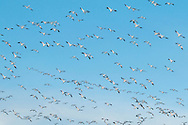 Middetown, New York - A large flock of snow geese on Feb. 18, 2017.