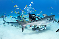 """""""Shark Wrangler"""" Carlos Estrabeau finds himself the center of attention, with three Tiger Sharks looking for handouts.<br /> <br /> Shot in Bahamas"""