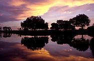 Live Oaks at dawn