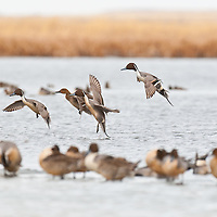 pintail ducks landing on water with ducks in forground on ice