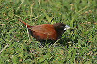 Chestnut Munia photo Hawaii