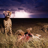 Tanzania, Ngorongoro Conservation Area, Ndutu Plains, Cheetah (Acinonyx jubatas) feeding on Thomson's Gazelle beside young cubs under lightning storm at night