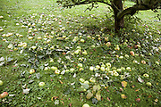 Cooking apples fallen from tree