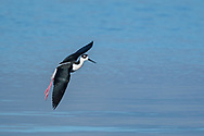 Black-necked stilt in flight, legs down and wings pitched to slow for landing, waters of the Salton Sea. © 2011 David A. Ponton