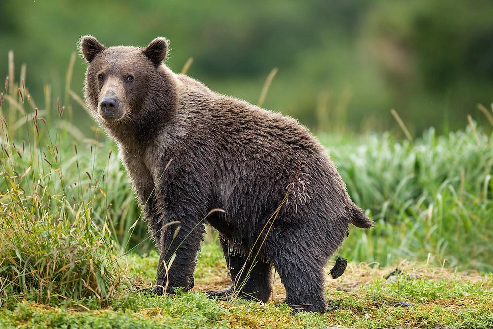 USA, Alaska, Katmai National Park, Coastal Brown Bear (Ursus arctos) defecates along salmon spawning stream by Kuliak Bay
