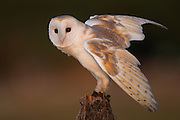 Stock Photo of captive barn owl captured in Florida.  Barn owls are encouraged to nest in certain agricultural areas because of their ability to control rodent populations.