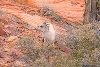 A close-up of a desert bighorn ewe in Zion National Park in Southern Utah. I was hiking through the hills when in the early evening I came upon a large group of about thirty individuals, including other rams, ewes, and lambs. It took me an hour to get this close for this shot.