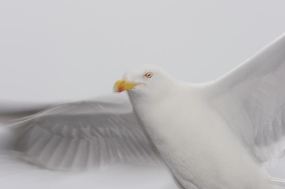 Herring Gull, Larus Argentatus, Flatanger, Nord-Trondelag, Norway