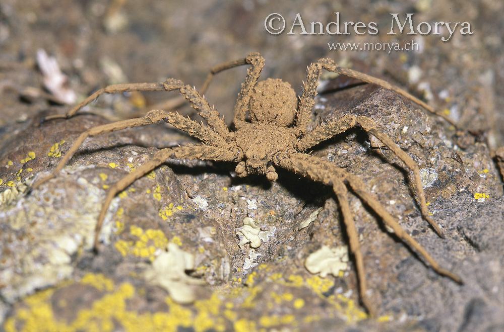 Sicarius, Atacama Desert, Chile. Is a genus of venomous spiders, the best known being the six-eyed sand spider of southern Africa. It is also commonly known as assassin spiders for the relatively quick catching and killing of their prey. Image by Andres Morya