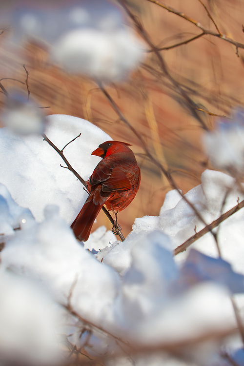A cardinal perches on a snowy branch on Capitol Hill in Washington, D.C.