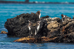 Galapagos Penguins (Spheniscus mendiculus) standing along lava rocks on a shore, Galapagos Islands National Park, Isabela Island, Galapagos, Ecuador