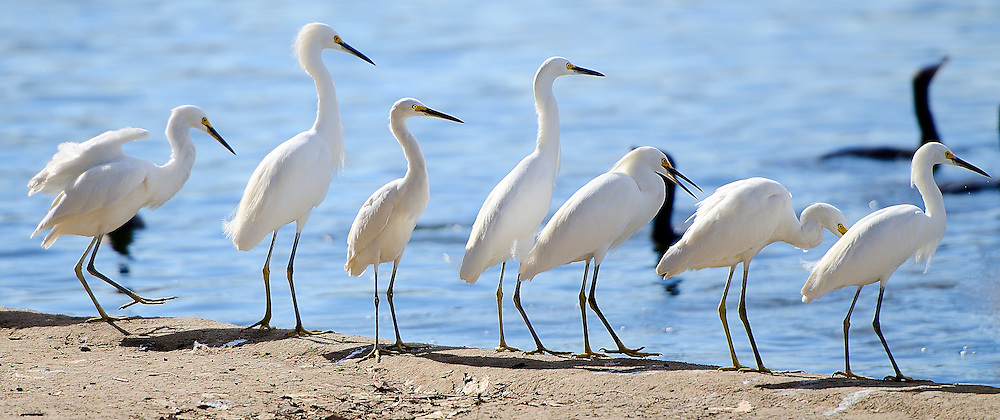 A group of snowy egrets hunting at the edge of a lake