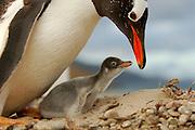 Dieses Eselspinguin Küken(Pygoscelis papua) ist nur wenige Tage alt und hat auf der Schnabelspitze noch den Eizahn. Saunders Island, Südatlantik, Falklandinseln | This Gentoo Penguin chick (Pygoscelis papua) is only a few days old and the egg tooth on the tip of the beak is still present. [size of single organism: 75 cm]