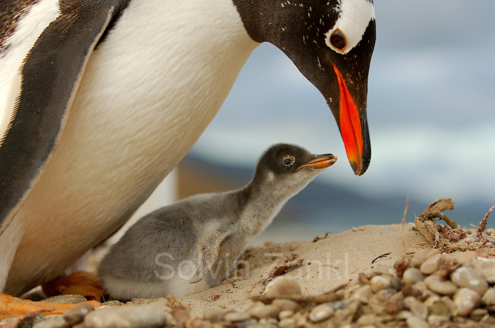 Dieses Eselspinguin Küken(Pygoscelis papua) ist nur wenige Tage alt und hat auf der Schnabelspitze noch den Eizahn. Saunders Island, Südatlantik, Falklandinseln   This Gentoo Penguin chick (Pygoscelis papua) is only a few days old and the egg tooth on the tip of the beak is still present. [size of single organism: 75 cm]