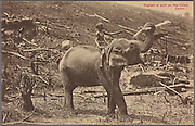 Elephant at work on new estate in Ceylon. A.W.A. Plâté & Co. 1907 - 1918<br /> The Digital Public Library of America