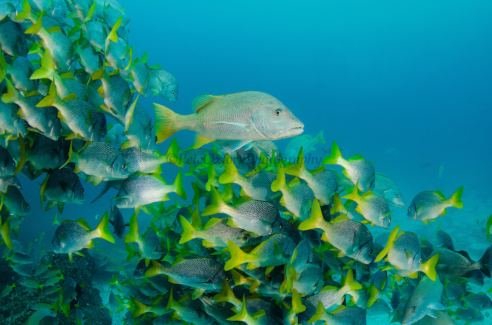 Yellowtail Grunt (Anisotremus interruptus) & Yellow Snapper (Lutjanus argentiventris)<br /> GALAPAGOS ISLANDS,<br /> Ecuador, South America